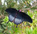 Papiliomemnon lowii