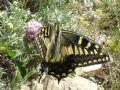 Papiliohospiton