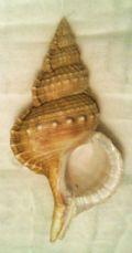 Ranellaolearia