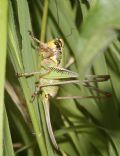 Eupholidopterachabrieri (cfr.)