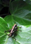 Eupholidopteramagnifica (cfr.)