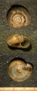 Gittenbergiasororcula