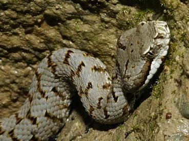 Rettili reptilia for Quali sono i rettili