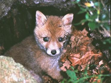 Clima mediterraneo thinglink for Dove vive la volpe